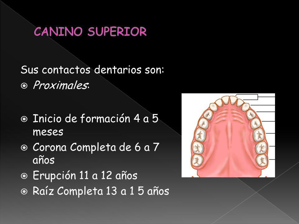 Sus contactos dentarios son: Proximales: Inicio de formación 4 a 5 meses Corona Completa de 6 a 7 años Erupción 11 a 12 años Raíz Completa 13 a 1 5 añ