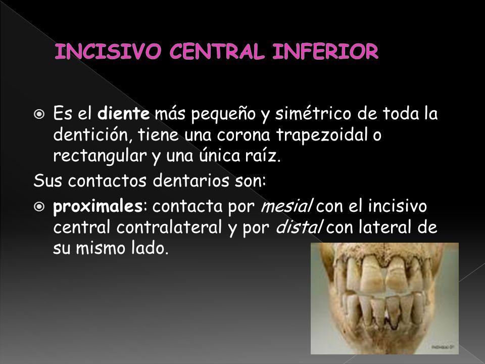 Es el diente más pequeño y simétrico de toda la dentición, tiene una corona trapezoidal o rectangular y una única raíz. Sus contactos dentarios son: p
