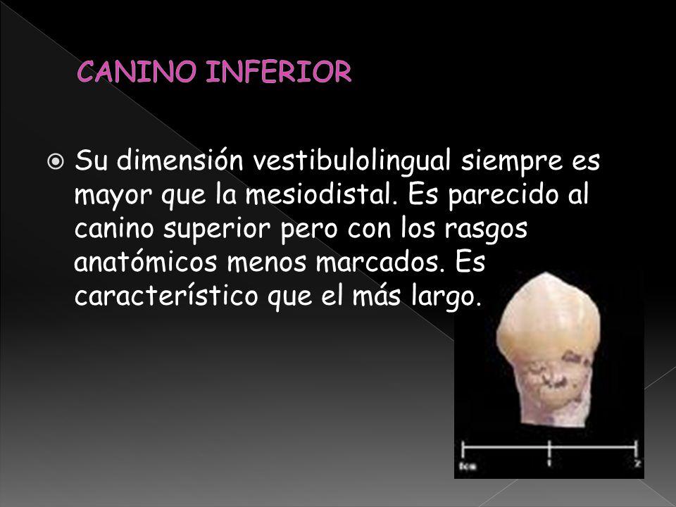 Su dimensión vestibulolingual siempre es mayor que la mesiodistal. Es parecido al canino superior pero con los rasgos anatómicos menos marcados. Es ca