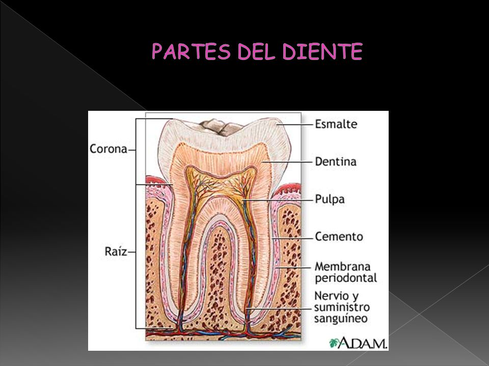 Sus contactos dentarios son: Proximales: Tiene una única raíz, es muy frecuente que la raíz del incisivo lateral superior presente una curvatura en su tercio apical, casi siempre con dirección distal y ligual.