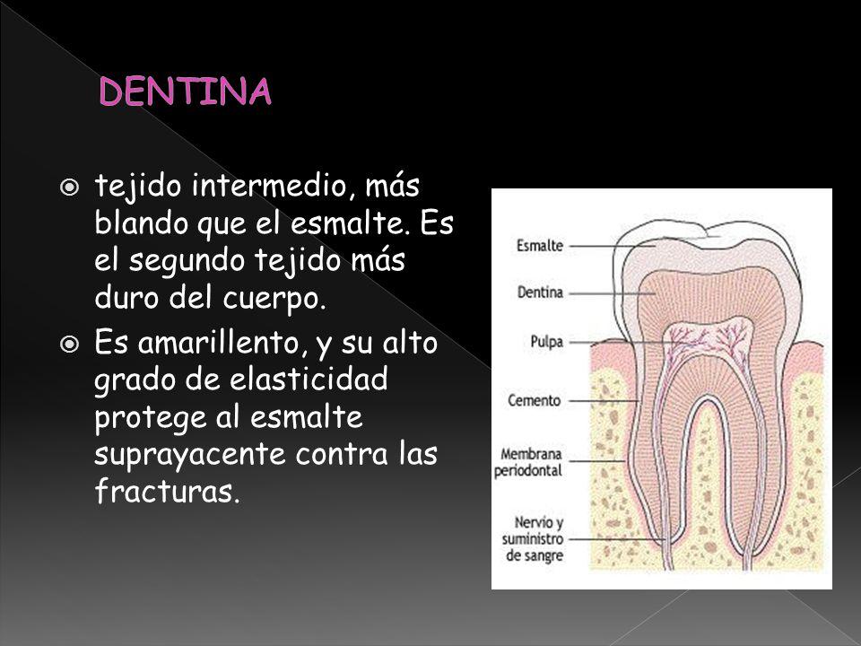 Encargados de elaborar la dentina: odontoblastos constituida por una matriz colágena calcificada, compuesta princinpalmente por colágeno tipo I y proteinas atravesada por conductillos o túbulos dentarios.
