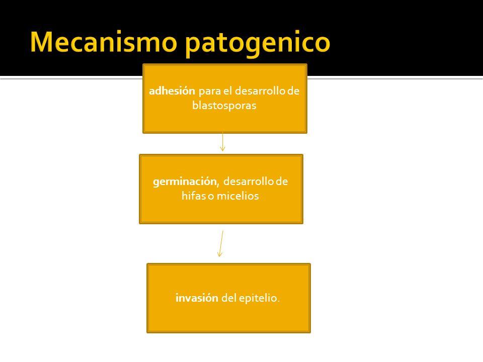 adhesión para el desarrollo de blastosporas germinación, desarrollo de hifas o micelios invasión del epitelio.