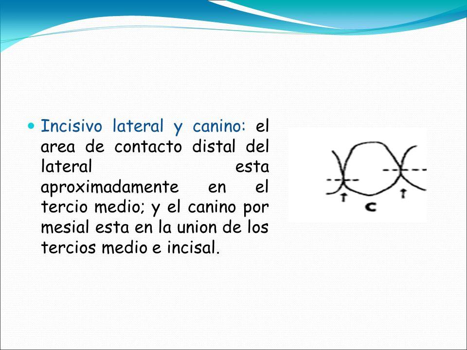 Incisivo lateral y canino: el area de contacto distal del lateral esta aproximadamente en el tercio medio; y el canino por mesial esta en la union de