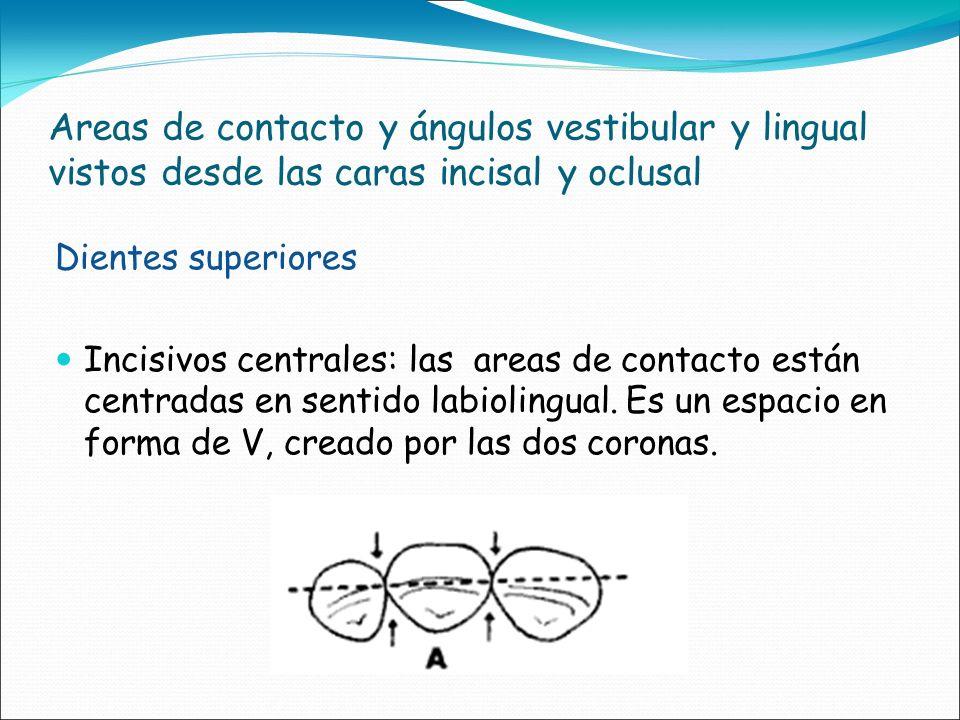 Areas de contacto y ángulos vestibular y lingual vistos desde las caras incisal y oclusal Dientes superiores Incisivos centrales: las areas de contact