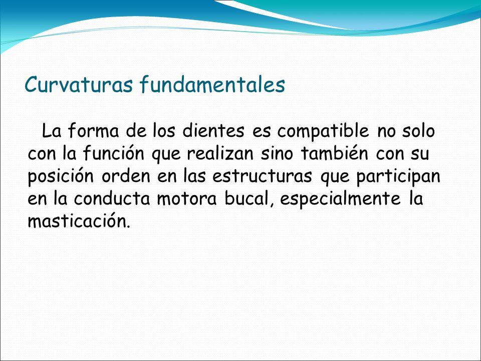 Curvaturas fundamentales La forma de los dientes es compatible no solo con la función que realizan sino también con su posición orden en las estructur