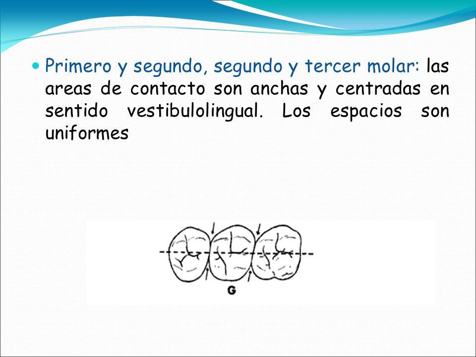 Primero y segundo, segundo y tercer molar: las areas de contacto son anchas y centradas en sentido vestibulolingual. Los espacios son uniformes