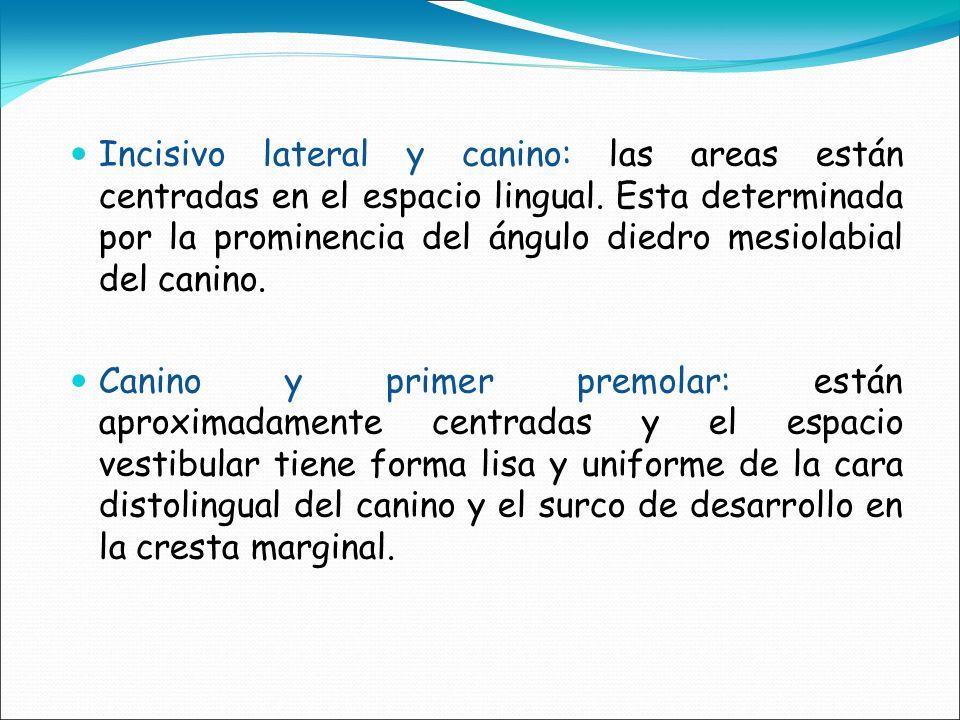 Incisivo lateral y canino: las areas están centradas en el espacio lingual. Esta determinada por la prominencia del ángulo diedro mesiolabial del cani