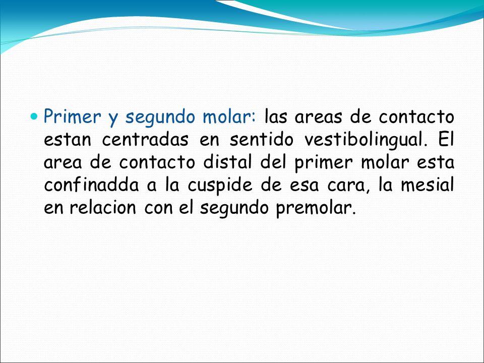 Primer y segundo molar: las areas de contacto estan centradas en sentido vestibolingual. El area de contacto distal del primer molar esta confinadda a