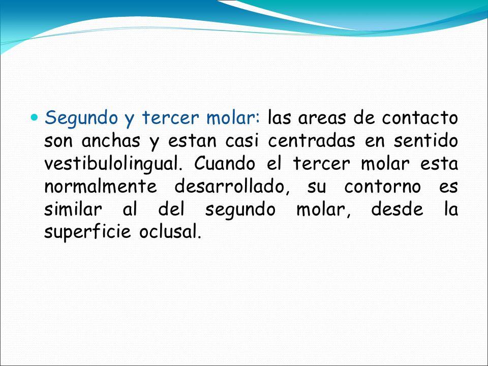 Segundo y tercer molar: las areas de contacto son anchas y estan casi centradas en sentido vestibulolingual. Cuando el tercer molar esta normalmente d