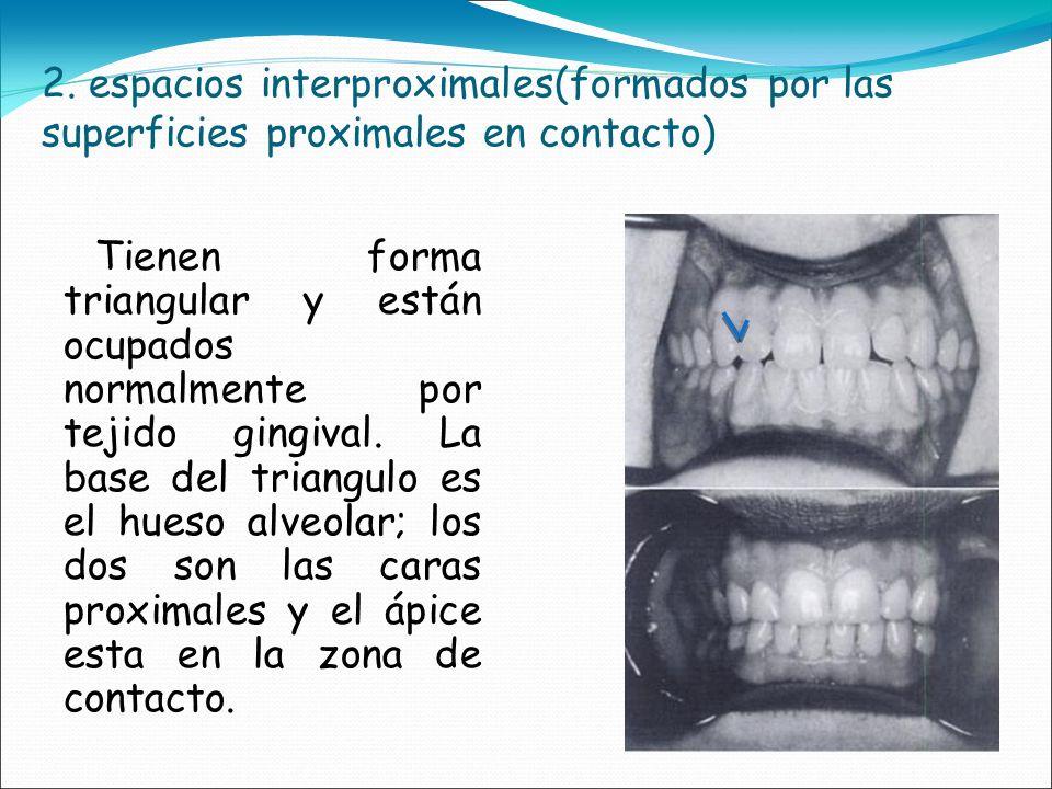 2. espacios interproximales(formados por las superficies proximales en contacto) Tienen forma triangular y están ocupados normalmente por tejido gingi