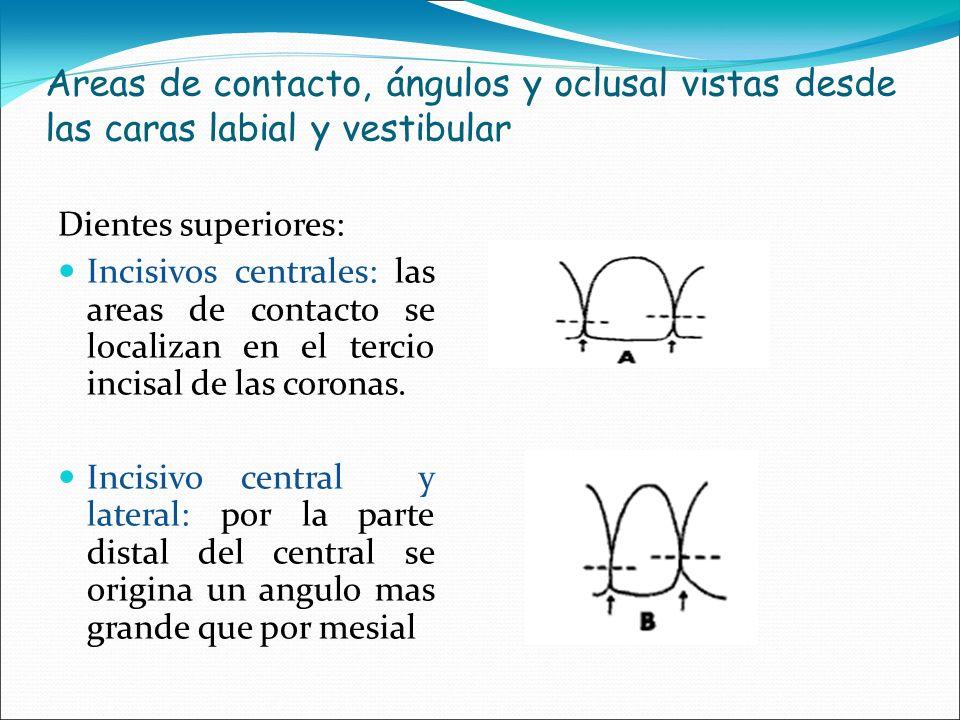 Areas de contacto, ángulos y oclusal vistas desde las caras labial y vestibular Dientes superiores: Incisivos centrales: las areas de contacto se loca
