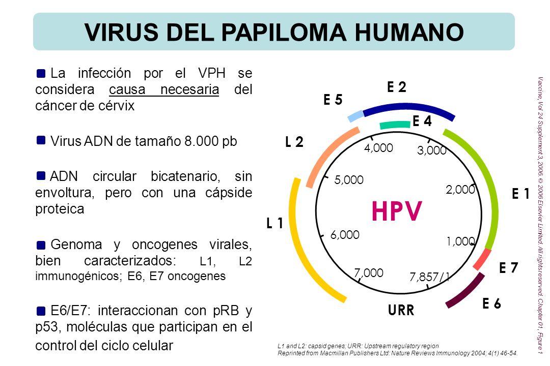 VIRUS DEL PAPILOMA HUMANO >100 tipos de VPH Tipos cutáneos (verrugas cutáneas, epidermodisplasia v., cáncer de piel no melanoma) Tipos mucosos, clasificados en diferentes grupos en función del riesgo de asociación al cáncer de cérvix: Bajo riesgo, verrugas genitales y epitelio (6, 11, 40, 42, 43, 44, 54, 61, 70, 72, 81, CP6108) De probable alto riesgo, tipos probablemente carcinogénicos (26, 53, 66, 68, 73, 82) Alto riesgo, frecuentemente asociados al ca.