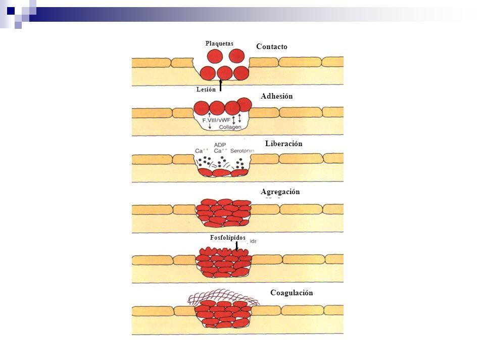 Contacto Adhesión Plaquetas Lesión Liberación Agregación Fosfolípidos Coagulación