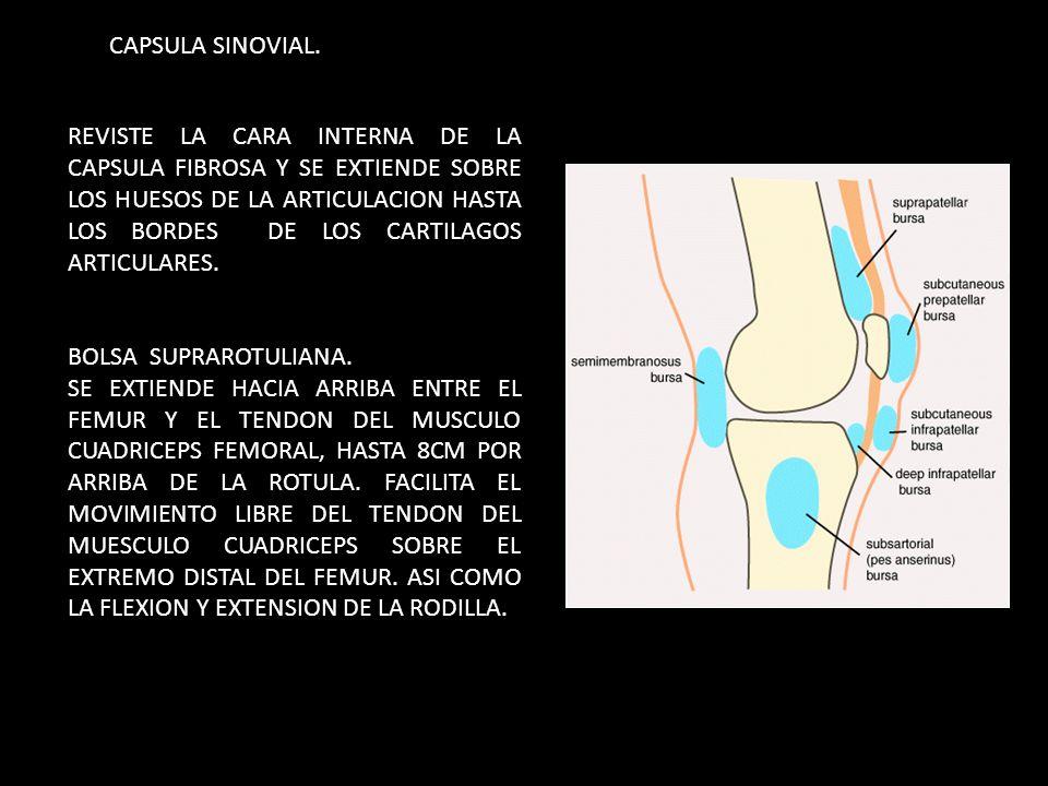 REVISTE LA CARA INTERNA DE LA CAPSULA FIBROSA Y SE EXTIENDE SOBRE LOS HUESOS DE LA ARTICULACION HASTA LOS BORDES DE LOS CARTILAGOS ARTICULARES. BOLSA