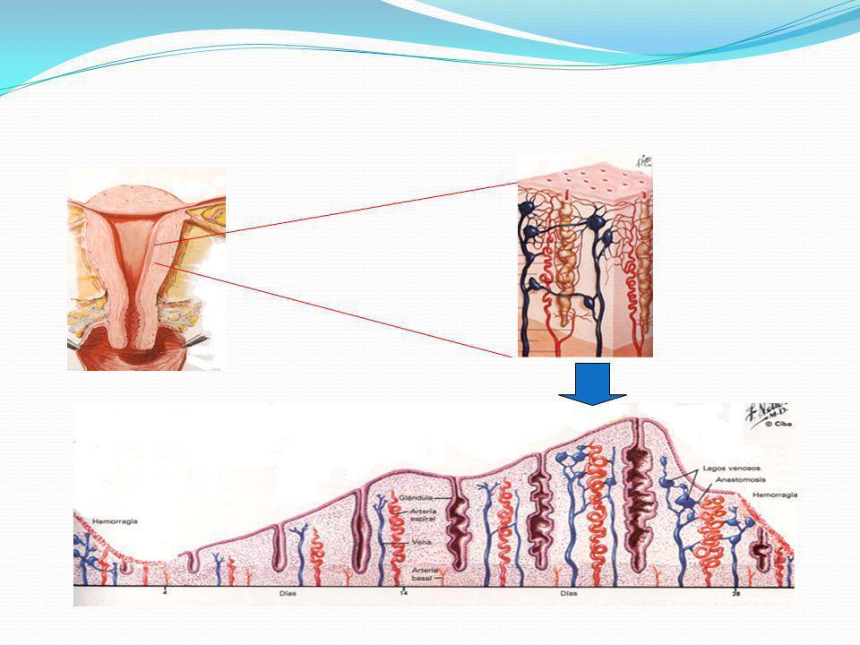 METRORRAGIAS DISFUNCIONALES Ovulatorias Anovulatorias Spotting (60 – 94%) Deficiencia folicular o lútea PGE Alt.