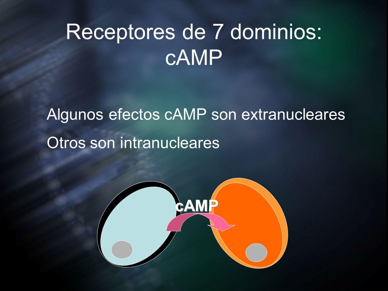 Receptores de 7 dominios: cAMP Algunos efectos cAMP son extranucleares Otros son intranucleares cAMP