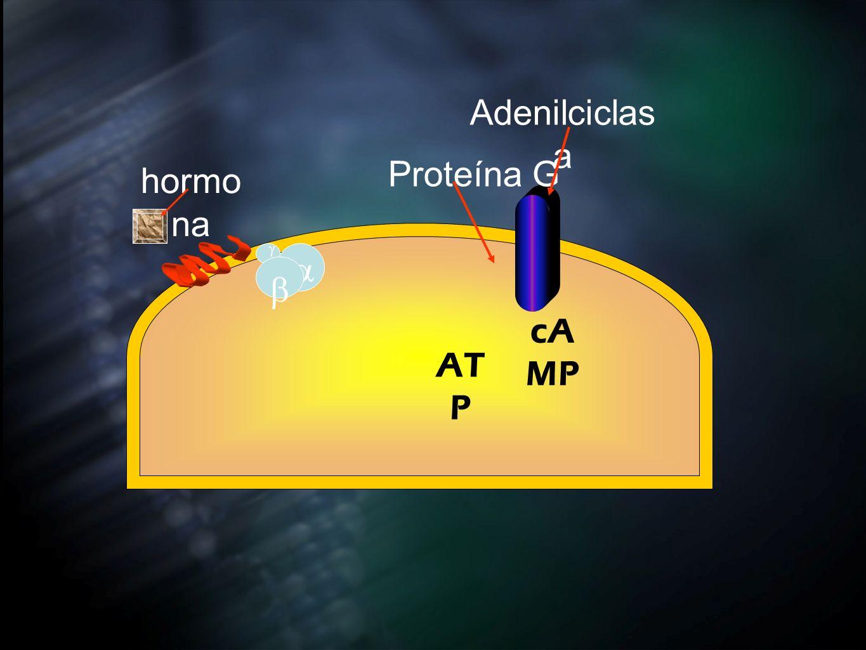 Adenilciclas a Proteína G hormo na AT P cA MP