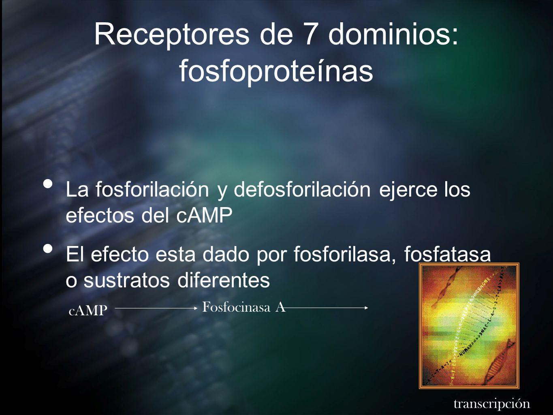 Receptores de 7 dominios: fosfoproteínas La fosforilación y defosforilación ejerce los efectos del cAMP El efecto esta dado por fosforilasa, fosfatasa