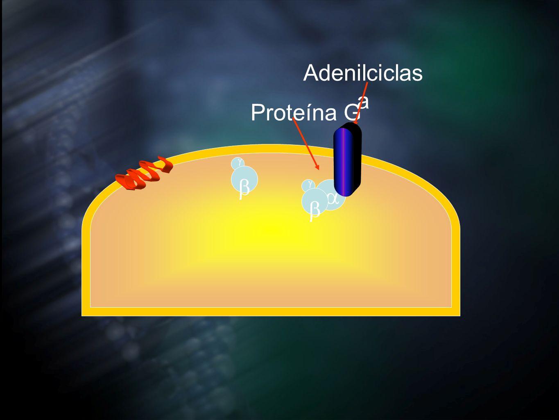 Adenilciclas a Proteína G