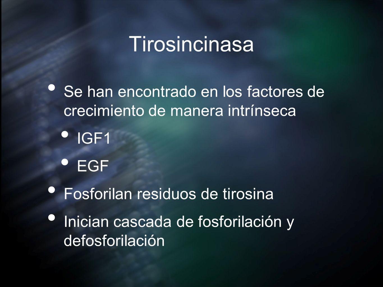 Tirosincinasa Se han encontrado en los factores de crecimiento de manera intrínseca IGF1 EGF Fosforilan residuos de tirosina Inician cascada de fosfor