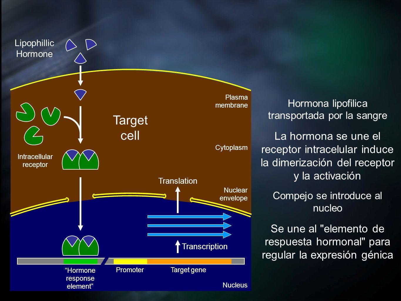 Transcription Translation Cytoplasm Nucleus Nuclear envelope Plasma membrane Hormona lipofilica transportada por la sangre La hormona se une el recept