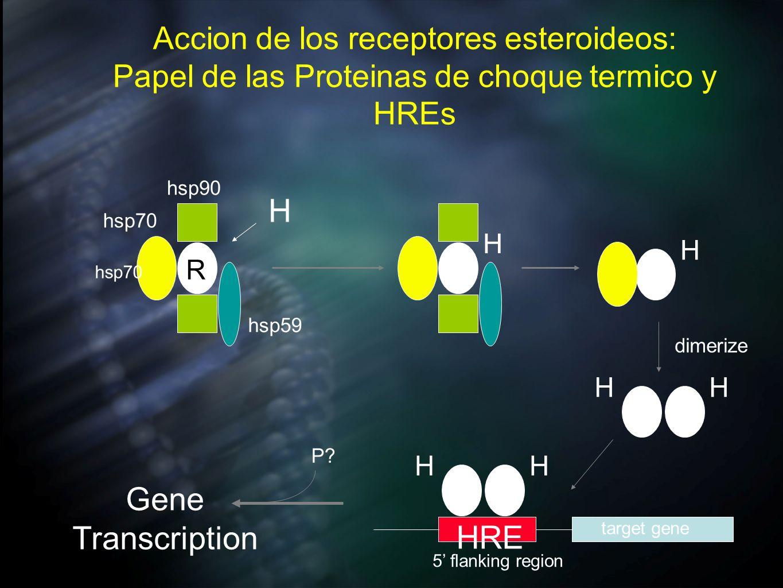 Accion de los receptores esteroideos: Papel de las Proteinas de choque termico y HREs H HH dimerize HH Gene Transcription P? HRE target gene 5 flankin