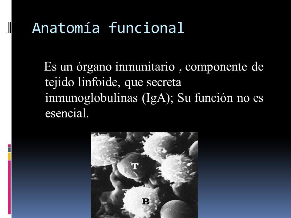 Anatomía funcional Es un órgano inmunitario, componente de tejido linfoide, que secreta inmunoglobulinas (IgA); Su función no es esencial.