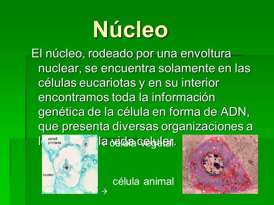 Núcleo Núcleo El núcleo, rodeado por una envoltura nuclear, se encuentra solamente en las células eucariotas y en su interior encontramos toda la info