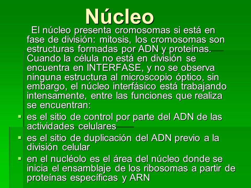 Núcleo Núcleo El núcleo presenta cromosomas si está en fase de división: mitosis, los cromosomas son estructuras formadas por ADN y proteínas. Cuando
