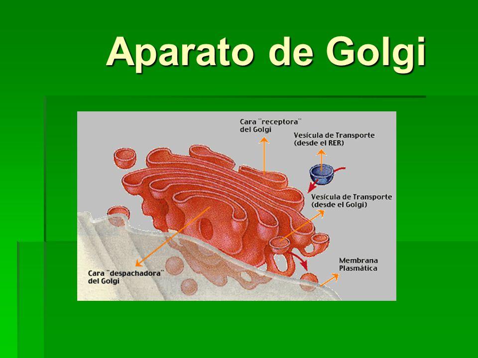 Aparato de Golgi Aparato de Golgi