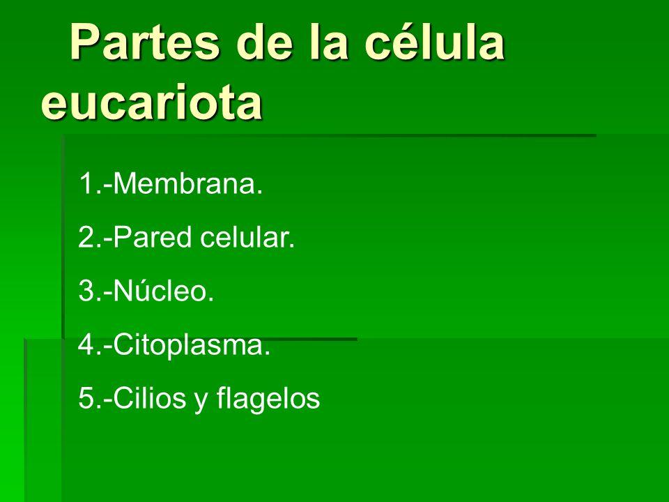 Partes de la célula eucariota Partes de la célula eucariota 1.-Membrana. 2.-Pared celular. 3.-Núcleo. 4.-Citoplasma. 5.-Cilios y flagelos