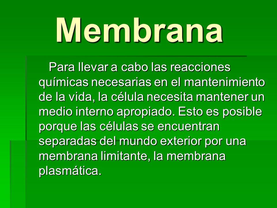 Membrana Membrana Para llevar a cabo las reacciones químicas necesarias en el mantenimiento de la vida, la célula necesita mantener un medio interno a