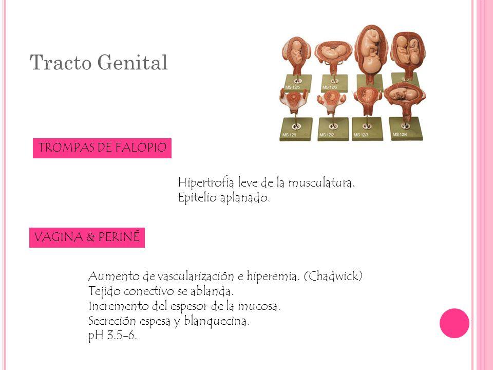 Tracto Genital TROMPAS DE FALOPIO Hipertrofia leve de la musculatura. Epitelio aplanado. VAGINA & PERINÉ Aumento de vascularización e hiperemia. (Chad