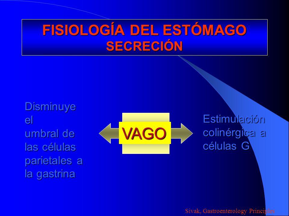 FISIOLOGÍA DEL ESTÓMAGO SECRECIÓN VAGO Disminuye el umbral de las células parietales a la gastrina Estimulación colinérgica a células G Sivak, Gastroe