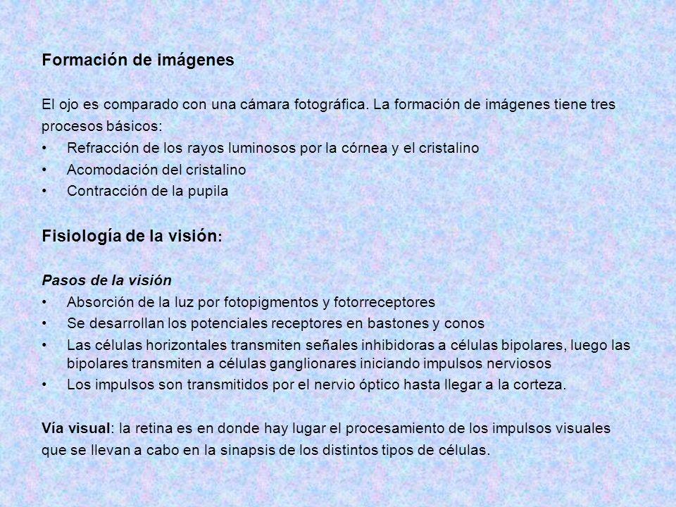 Formación de imágenes El ojo es comparado con una cámara fotográfica. La formación de imágenes tiene tres procesos básicos: Refracción de los rayos lu