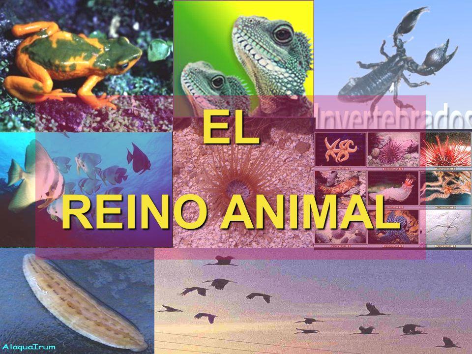 CORDADOS Este filo es el que abarca a los animales más conocidos por la gente, también se encuentra la especie humana.
