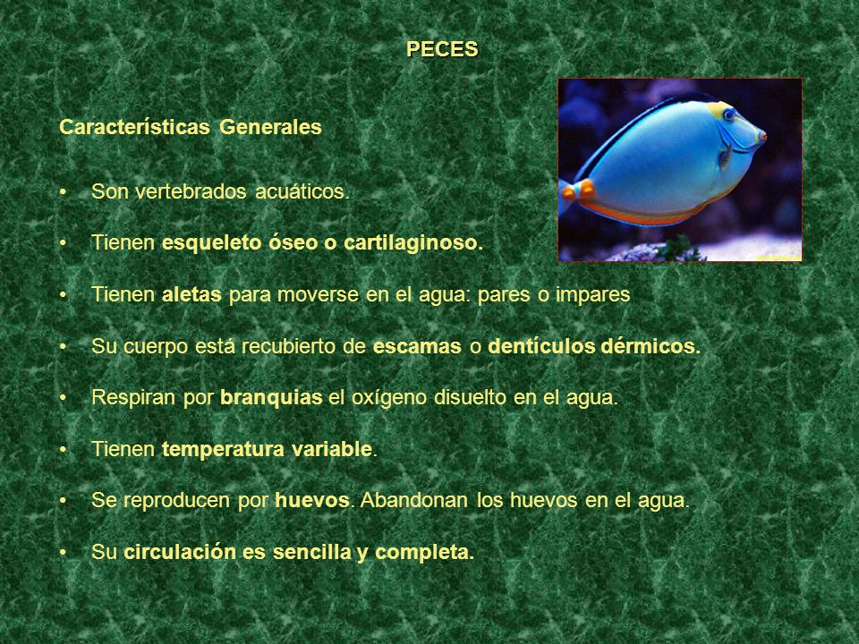 PECES Características Generales Son vertebrados acuáticos. Tienen esqueleto óseo o cartilaginoso. Tienen aletas para moverse en el agua: pares o impar