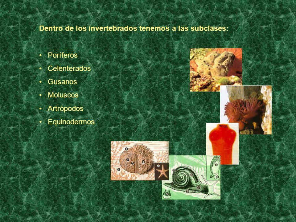 Dentro de los invertebrados tenemos a las subclases: Poríferos Celenterados Gusanos Moluscos Artrópodos Equinodermos