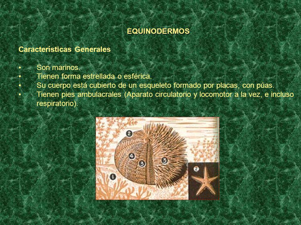 EQUINODERMOS Características Generales Son marinos. Tienen forma estrellada o esférica. Su cuerpo está cubierto de un esqueleto formado por placas, co
