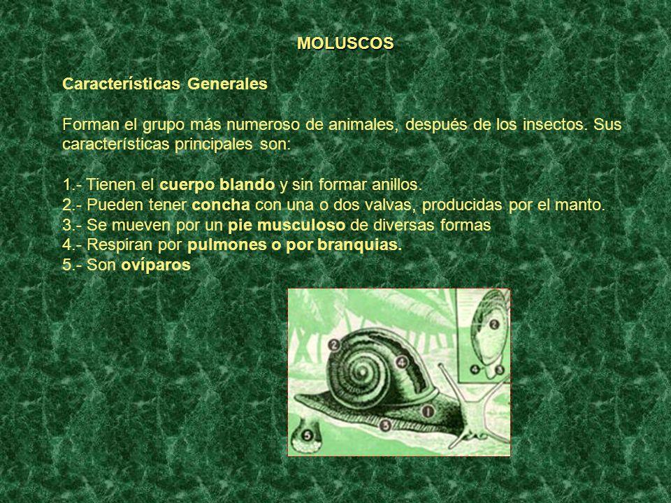 MOLUSCOS Características Generales Forman el grupo más numeroso de animales, después de los insectos. Sus características principales son: 1.- Tienen
