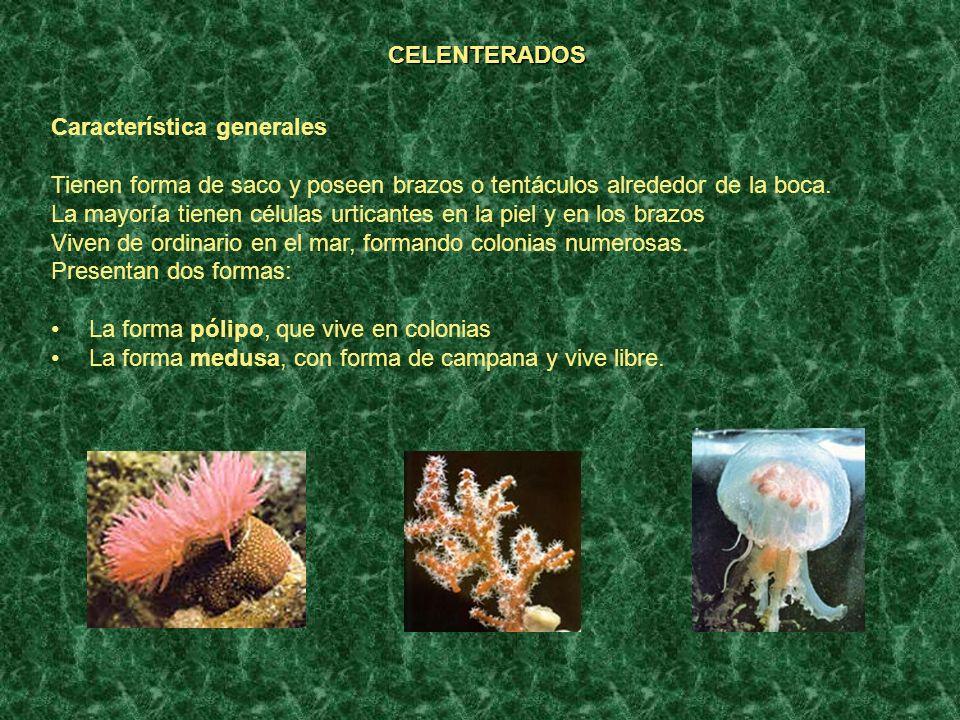 CELENTERADOS Característica generales Tienen forma de saco y poseen brazos o tentáculos alrededor de la boca. La mayoría tienen células urticantes en