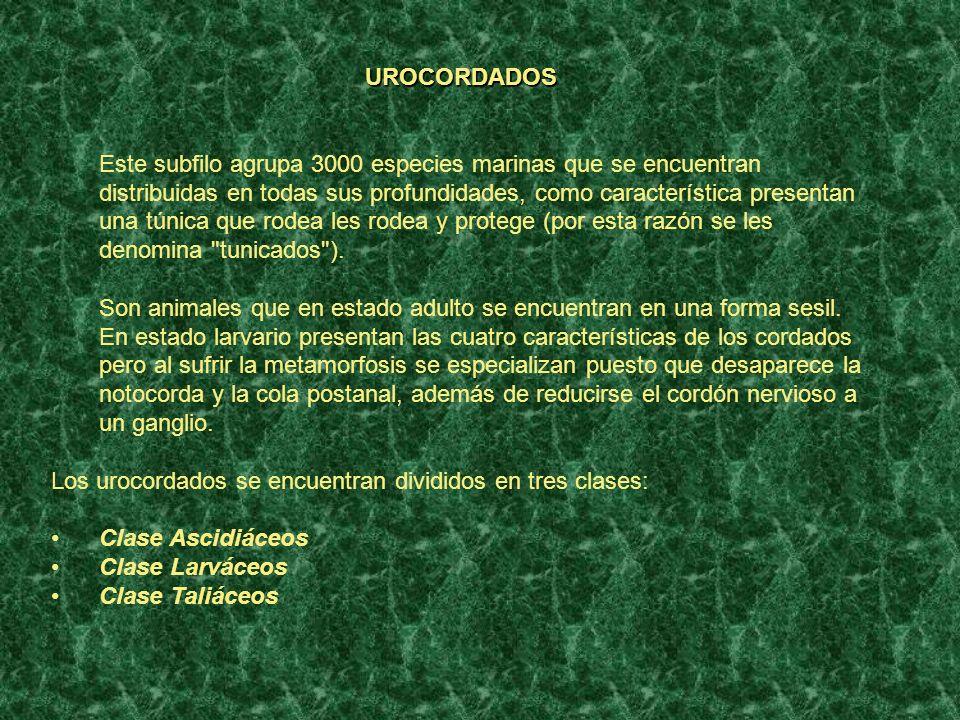 CEFALOCORDADOS El subfilo de los cefalocordados es un pequeño grupo formado únicamente por 25 especies animales.