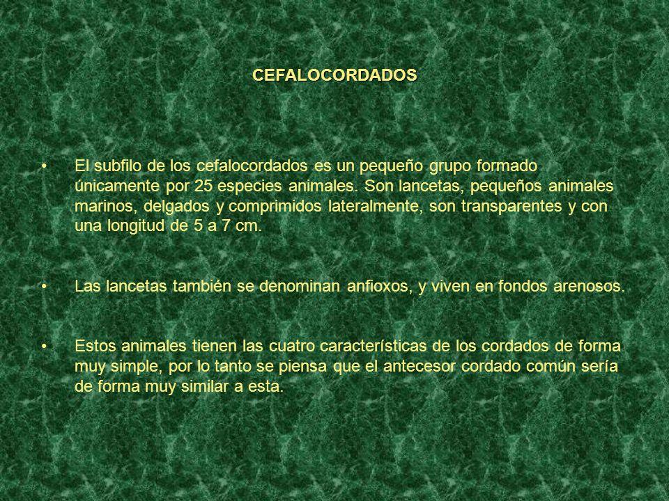 CEFALOCORDADOS El subfilo de los cefalocordados es un pequeño grupo formado únicamente por 25 especies animales. Son lancetas, pequeños animales marin