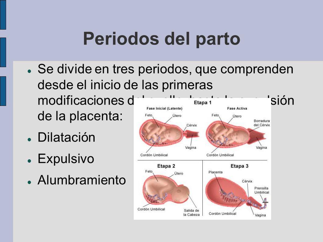 Se divide en tres periodos, que comprenden desde el inicio de las primeras modificaciones del cuello, hasta la expulsión de la placenta: Dilatación Ex