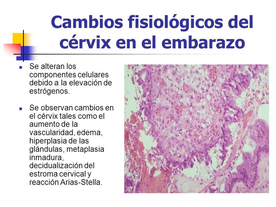 Cambios fisiológicos del cérvix en el embarazo Se alteran los componentes celulares debido a la elevación de estrógenos. Se observan cambios en el cér