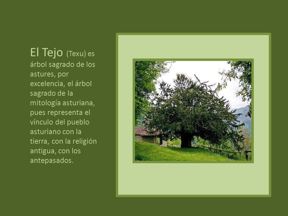 TILO Simboliza el amor y la fidelidad. Es una costumbre extendida, la de plantar un Tilo el día de la boda.