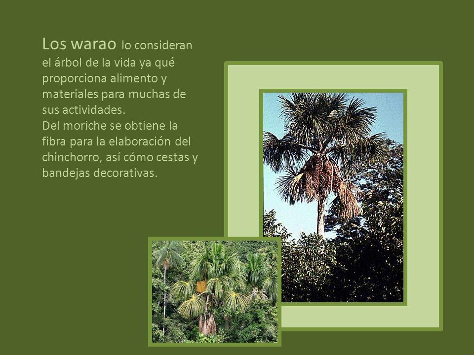 Aralia paperifer, de origen europeo,frondoso árbol siempre verde. Es un árbol muy especial, perteneciente a una especie rara, tanto que se dice que no