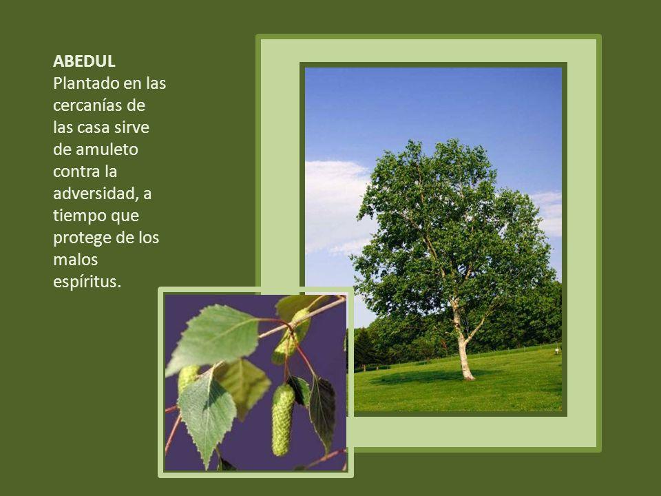 ABEDUL Plantado en las cercanías de las casa sirve de amuleto contra la adversidad, a tiempo que protege de los malos espíritus.