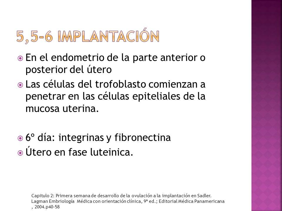 En el endometrio de la parte anterior o posterior del útero Las células del trofoblasto comienzan a penetrar en las células epiteliales de la mucosa uterina.
