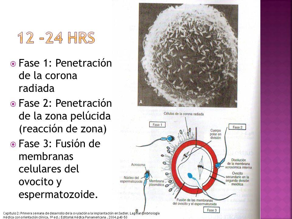 Fase 1: Penetración de la corona radiada Fase 2: Penetración de la zona pelúcida (reacción de zona) Fase 3: Fusión de membranas celulares del ovocito y espermatozoide.